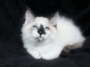 Friendly Ragdoll Kittens for their New Homes