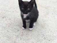 Male kitten - mother 1/2 siamese