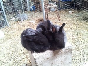 2 Flemish cross baby rabbits for sale