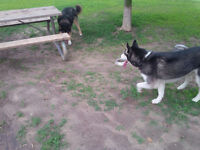Two Male Huskies Need Forever Home ASAP