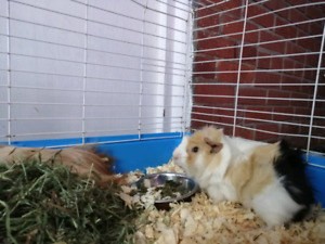 Guinea pigs both Male