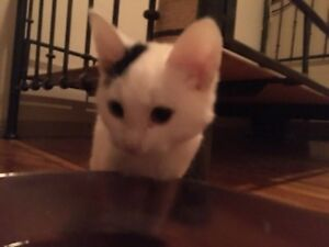 CHATONS A VENDRE 40$ URGENCEEEEE West Island Greater Montréal image 1