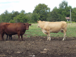 30 Open Purebred Heifers For Sale