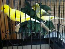 Border Fancy Canaries for sale Werrington Downs Penrith Area Preview