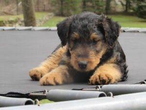 chiot airedale