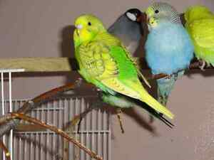 Beautiful Budgie Babies..weaned on fresh veggies, egg, zupreems