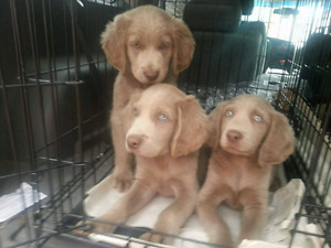 Weimaraner Long hair puppies