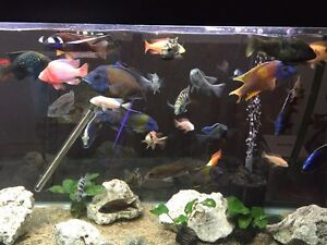 MANY AFRICAN CICHLIDS FOR SALE!!!