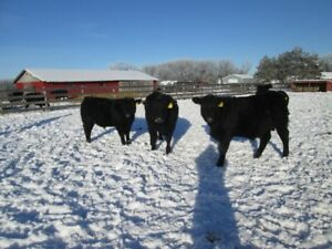 3 Purebred Black Angus  Yearling  Bulls for Sale