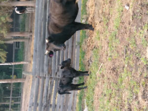 For Sale, Bred Dexter Cows and Hiefers