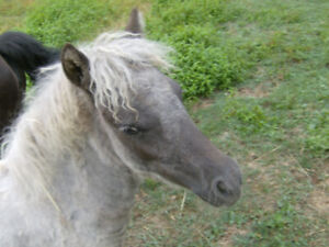 Miniature horse- regd appy filly reduced price!