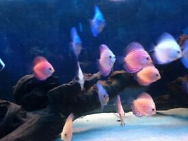 Mix of 15 discus tropical fish live mix strains red yellow blue 2/3""