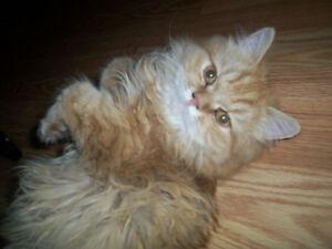 chat perdu je recherche secteur Mont bellevue