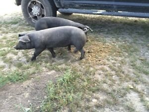 Finished Butcher Hogs for sale