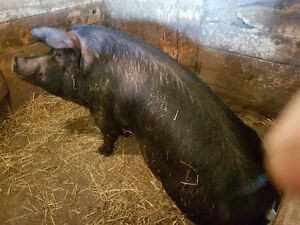 Pigs - Large Black and crossbred breeding stock