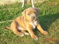 American Bulldog Puppies Ready Now