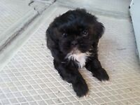 Tiny 8 wk Black and white female Shih Tzu ** 8 WEEKS TODAY! **