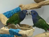 Young pair of Blue Headed Parrots