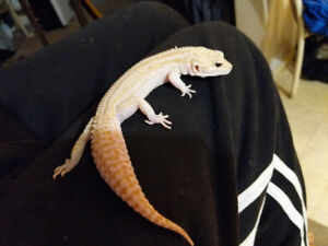 Albino gecko for sale with tank.