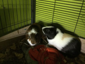 FOR ADOPTION: Thomas and Uriel (male guinea pigs)