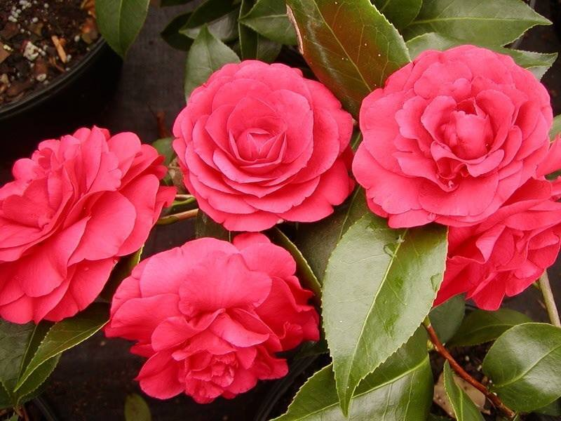 Bob Wines Camellia Gardens