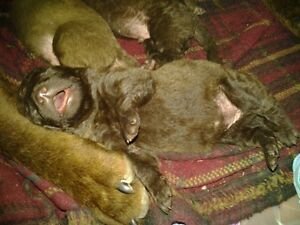 Pure Breed Chesapeake puppies