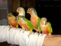 Baby conures / Christmas special