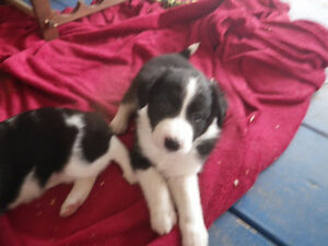 purebred border collie puppies
