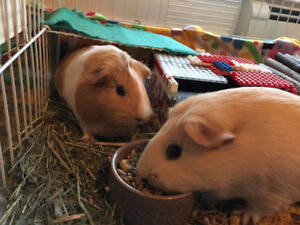 Four adorable guinea pigs need a forever home