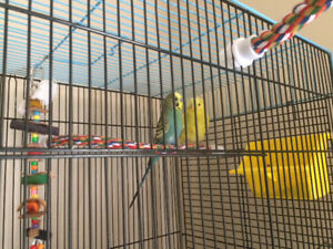 Pair of budgies with cage and all accessories needed for them