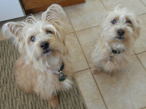 BREEDING – Looking for Fox Wire, Jack Russell or Yorkie male