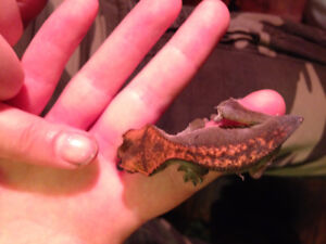 Unsexed Baby Crested Gecko - BAMF
