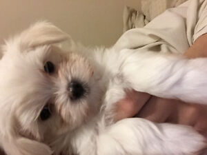 Maltese 1 pup left(male) ready to go! Reduced(1300)