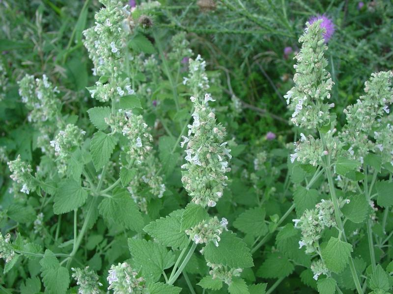 theseedhouse 50 Seeds Nepeta Cataria Seeds Catnip-Perennial Herb Felines Love