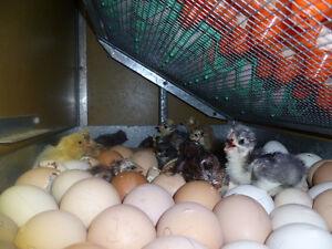 Poussins à venir (oeufs en incubations)