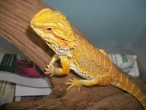 Adopt a bearded dragon - $20 fee. set up $60 Peterborough Peterborough Area image 3