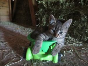 Four Lovable Farm Kittens Looking For a Nice New Home!