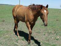 AQHA 2 yer old Red Dun Filly