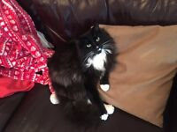 MISSING/LOST BLACK AND WHITE FLUFFY CAT NORBURY/STREATHAM