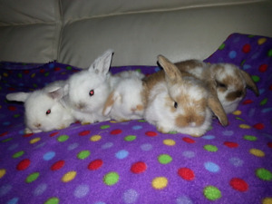 Mini Lop's for sales