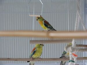 Red-Rump Parakeets