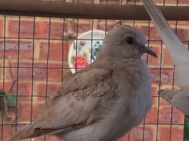 Baby diamond doves for sale £8 each