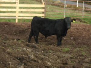 registered  black Simmental bull calf