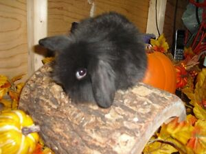 For sale Adorable  American fuzzy mini Lop baby bunny
