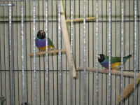 *** Gouldian Finches***