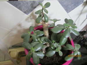 Jade/Money Plant - Air Purifying