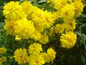 Varieties perennials & Hosta & Honeysuckles & Hydrangea