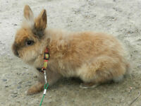 Lionhead male for sale