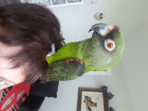 Wanted Jardine Parrot