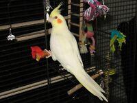 Beautiful Lutino Cockatiel (red eyes)